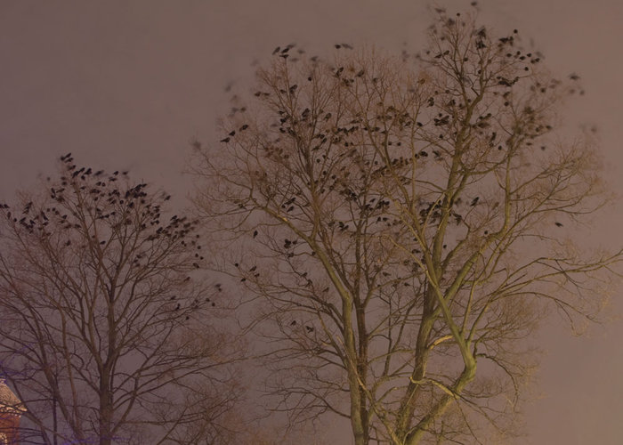Crows at night