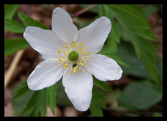 Small white mountain flower